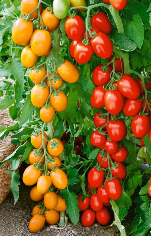 Gemüse des Jahres 2021 - TOMELLA
